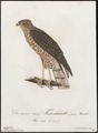 Accipiter nisus - 1800-1812 - Print - Iconographia Zoologica - Special Collections University of Amsterdam - UBA01 IZ18300085.tif