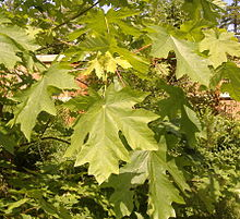 Bigleaf Maple foliage