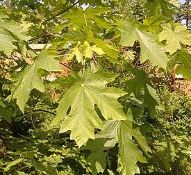 Acer macrophyllum 1199.jpg