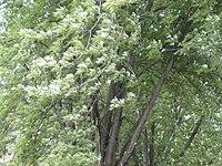 Acer saccharinum Grimes Farm 1.jpg
