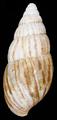 Achatina vassei shell 3.png