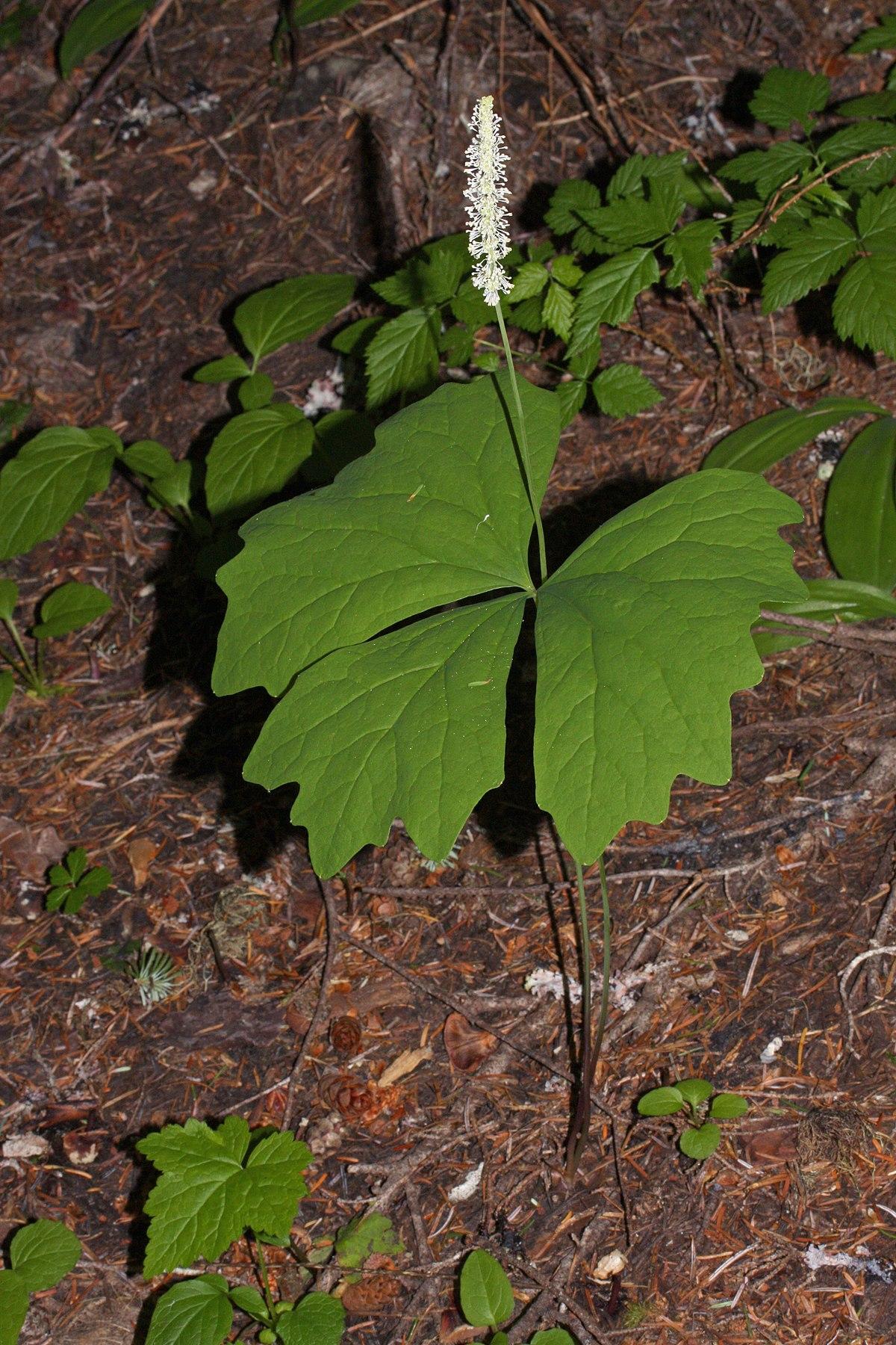 Achlys Plant Wikipedia