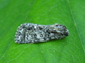 Ampfereule (Acronicta rumicis)