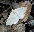 Adactylotis gesticularia. Geometridae - Flickr - gailhampshire (2).jpg