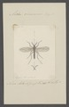 Aedes - Print - Iconographia Zoologica - Special Collections University of Amsterdam - UBAINV0274 038 02 0012.tif