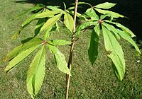 Aesculus-assamica - leaves of young plant