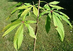 Aesculus-assamica - leaves of young plant.JPG