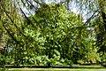 Aesculus hippocastanum, Plotzensee, Berlin (20150503-DSC04980).jpg