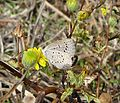 African Grass Blue. Zizeeria knysna - Flickr - gailhampshire (2).jpg
