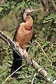 African darter (Anhinga rufa) female.jpg