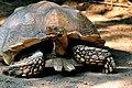 African spurred Tortoise (geochelone sulcata).jpg