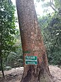 Africanteakoaktree.jpg