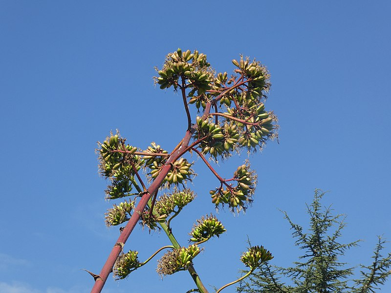 File:Agavaceae - Agave americana - Striata 01.jpg