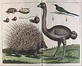 Albertus Seba - Malacca Hedgehog, Erinaceus malaccensis, and Ostrich, Struthio carmelis - Google Art Project.jpg