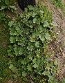 Alchemilla acutiloba plant (02).jpg