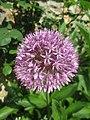 Allium giganteum Yonne.jpg