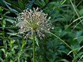 Allium in Central Park (81566).jpg