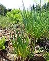 Allium pskemense kz02.jpg