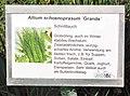 Allium schoenopeasum Grande.jpg