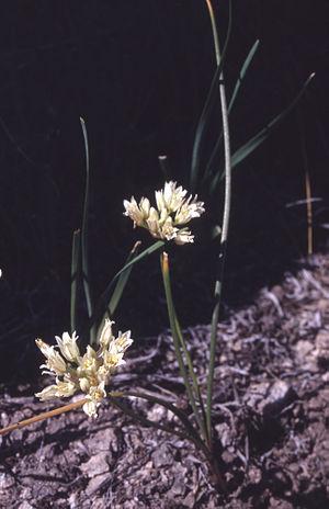 Allium textile - Image: Alliumtextile