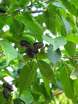 Japanse kaukasische els wikipedia japanse kaukasische els stopboris Images
