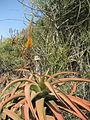Aloe spicata flowering (4516775415).jpg