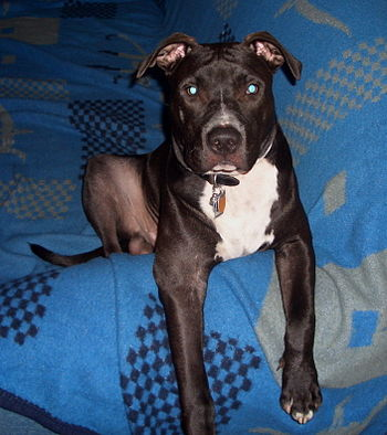 English: American Staffordshire Terrier Deutsc...