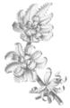Amansia glomera.png