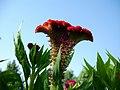Amaranthus (8).jpg