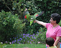 Amazona aestiva -National Aviary -USA -flying-8a.jpg