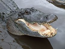 alligator wikipedia