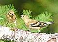 American Goldfinch, Washington State 05.jpg