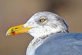 American Herring Gull (Larus argentatus smithsonianus) (16109145947).jpg