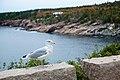 American Herring Gull Larus smithsonianus, Acadia National Park, Maine (25108091253).jpg