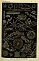 American Naturalist Volume 1 Plate 13.jpg