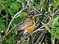 American Robin Juvenille on Seedskadee National Wildlife Refuge (21045151406).jpg
