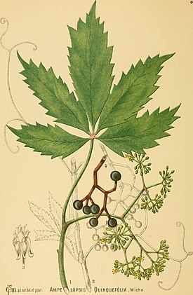 American medicinal plants; - an illustrated and descriptive guide to the American plants used as homopathic remedies - their history, preparation, chemistry, and physiological effects. (1887) (18157738221).jpg