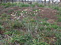 Ammobium alatum plant12 (14146903087).jpg