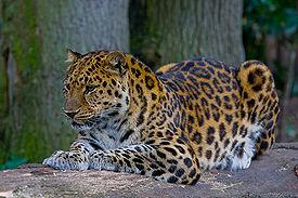 Реферат на тему дальневосточный леопард 6596