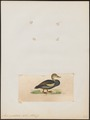Anas scutellata - 1820-1863 - Print - Iconographia Zoologica - Special Collections University of Amsterdam - UBA01 IZ17600391.tif