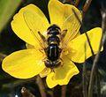 Anasimyia lineata - Flickr - S. Rae (1).jpg