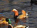 Anatra mandarina2.jpg
