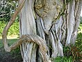 Ancient yew tree. - geograph.org.uk - 39530.jpg