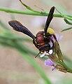 Andrena fuscosa 1.jpg