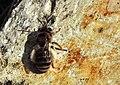 Andrena sp.jpg