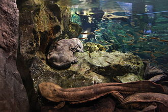 Japanese giant salamander - In Kyoto Aquarium