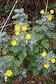 Andryala pinnatifida kz24.jpg