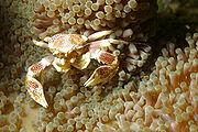 A porcelain crab living with an anemone, probably Entamacea quadricolor