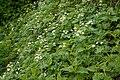 Anemone narcissiflora 08.jpg