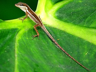 Dactyloidae - Puerto Rican bush anole, one of sixteen anole species from Puerto Rico and the Virgin Islands